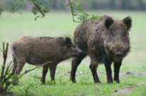 Drie everzwijnen doodgeschoten in tuin in Beverlo: vierde 'gewonde' varken spoorloos
