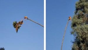 Niet voor mensen met hoogtevrees: palmboom slingert tuinman wild heen en weer
