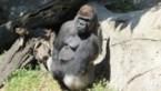 Geliefde gorilla valt verzorgster aan in dierentuin