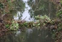 Bevers bouwen voor de tweede keer in een week tijd een nieuwe dam in de Vrietselbeek<BR />