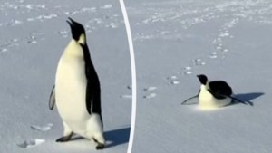 Pinguïn achtervolgt wetenschappers en lijkt hen heel wat te willen zeggen