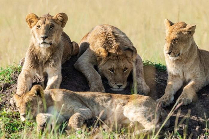 Troep leeuwen gedood na ontsnapping uit reservaat in Zuid-Afrika