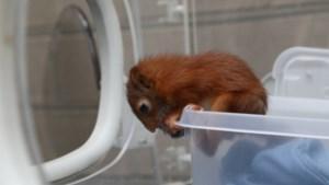 Nog babyeekhoorntje opgevangen in Natuurhulpcentrum