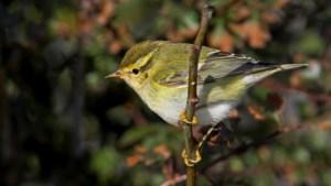 Meeste trekvogels voor Limburg geteld in Houthalen