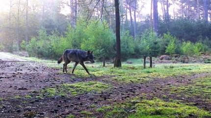 """Opnieuw damhert doodgebeten in wolvengebied: """"Dit is al de derde keer"""""""