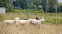 Chilipeper moet schapen beschermen tegen wolf