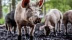 Geen dierenwelzijn in nieuw federaal regeerakkoord. Een keuze of een gemiste kans?
