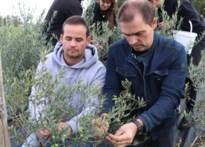 Looise tv-maker (én boer) Luc Haekens plant 1.000 olijfbomen