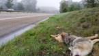 Jonge wolf doodgereden op Noord-Zuid