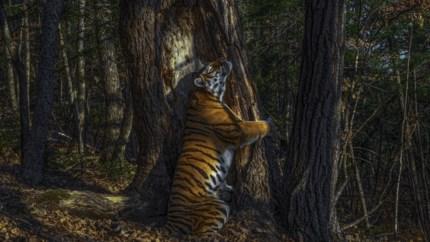 Rus is met Siberische tijger Wildlife Photographer van 2020