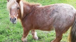 """Verwaarloosde pony in beslag genomen in Sledderlo: """"Dier mankt en stuikt ineen"""""""