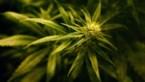 Vier Nederlanders krijgen tot 20 maanden cel voor cannabisplantage in Bocholt