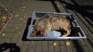 Tweede wolf doodgereden: fataal ongeval op baan Meeuwen-Opglabbeek