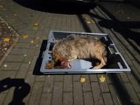 Tweede wolvin doodgereden: fataal ongeval bij oversteken van baan Meeuwen-Opglabbeek