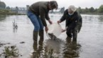 Nederlanders zetten in Grensmaas bedreigde kopvoorn uit die bij INBO gekweekt werd