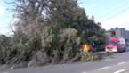 Dennenboom valt op openbare weg en raakt auto in Bilzen