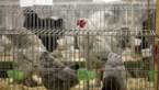 Nederlandse pluimveehouders moeten kippen binnenhouden wegens vogelgriep