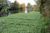 Dik tapijt van grote waternavel woekert op Oude Maas