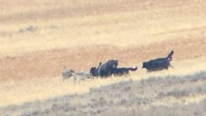 Unieke natuurbeelden: beer krijgt het aan de stok met roedel wolven