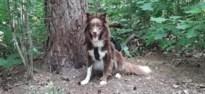 """Maasmechelse zoekt medicijn voor hond nu """"productie door corona is stilgevallen"""""""