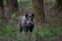 Everzwijn doodgereden bij ongeval op Boudewijnlaan in Diepenbeek