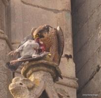 Tongerse slechtvalken verorberen jaarlijks zo'n 200 stadsduiven