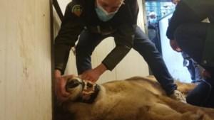 Levensbedreigende tumor vastgesteld bij leeuwin Mia