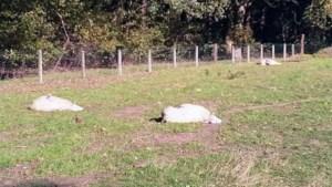 Zes schapen dood na wolvenaanval in Neerglabbeek