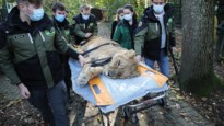 Hoopvol nieuws uit Natuurhulpcentrum: operatie leeuwin Mia geslaagd