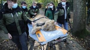 Hoopvol nieuws uit Natuurhulpcentrum Oudsbergen: operatie leeuwin Mia geslaagd