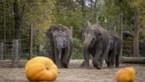 Ook Pairi Daiza viert Halloween en dat levert schattige beelden op