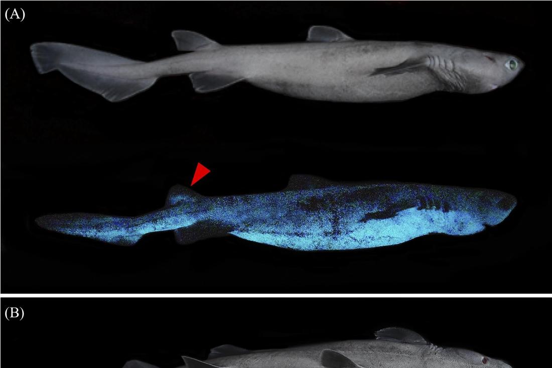 Belgische onderzoekers ontdekken lichtgevende haaien in Nieu... (Ottignies-Louvain-la-Neuve) - Het Belang van Limburg Mobile - Het Belang van Limburg