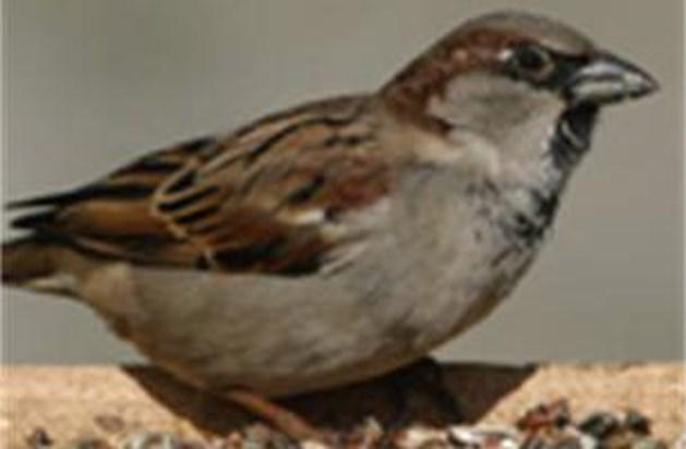Huismus voert top tien van tuinvogels aan