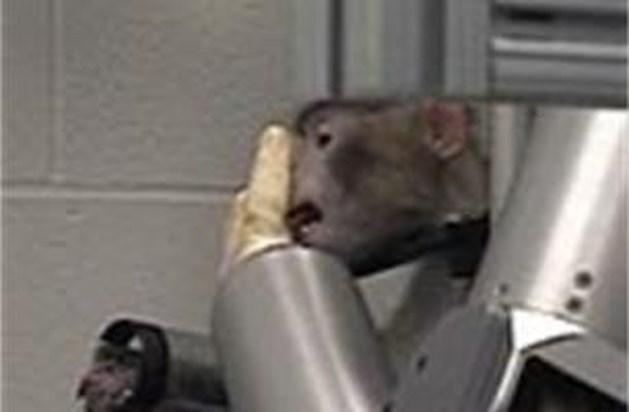 Apen gebruiken robotarm via hersenactiviteit