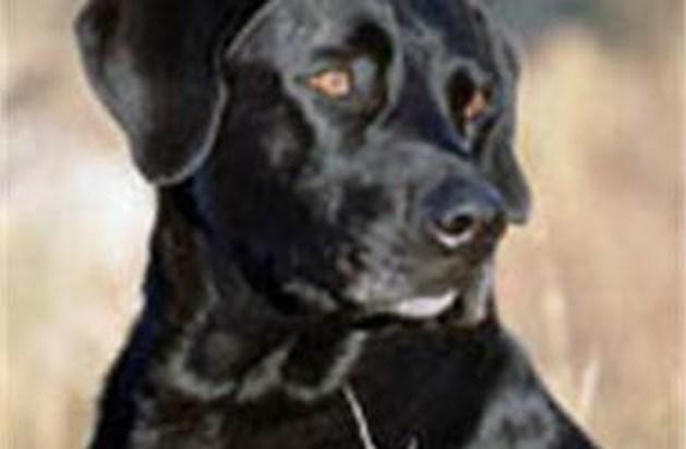 Hond gekloond om kanker bij mensen te ruiken
