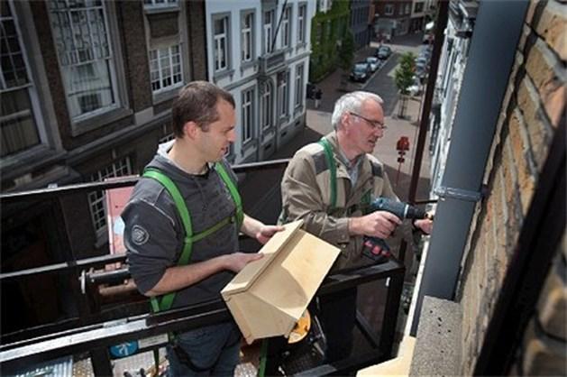 Hasselt wil gierzwaluwen in binnenstad
