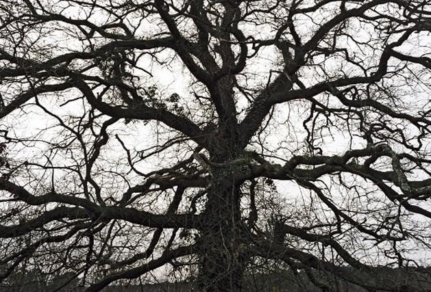 58 eikenbomen gestolen in Denemarken