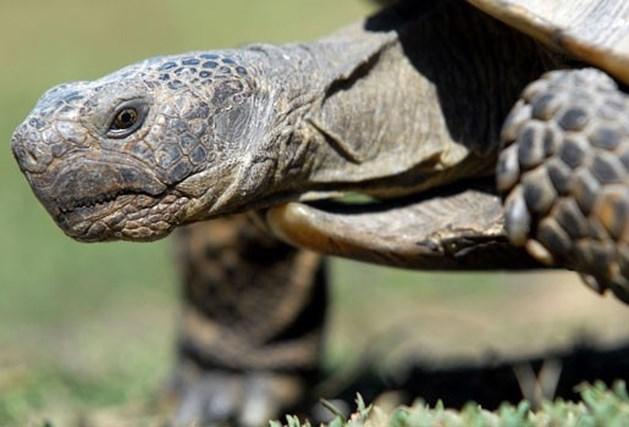Nederlandse politie te traag voor schildpad