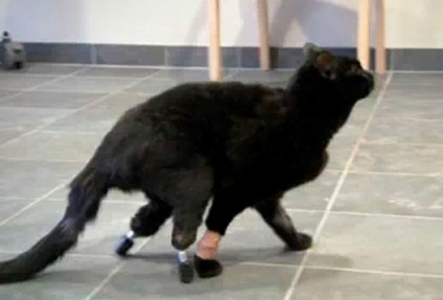 Kat Oscar krijgt speciale prothesen na ongeluk met maaier