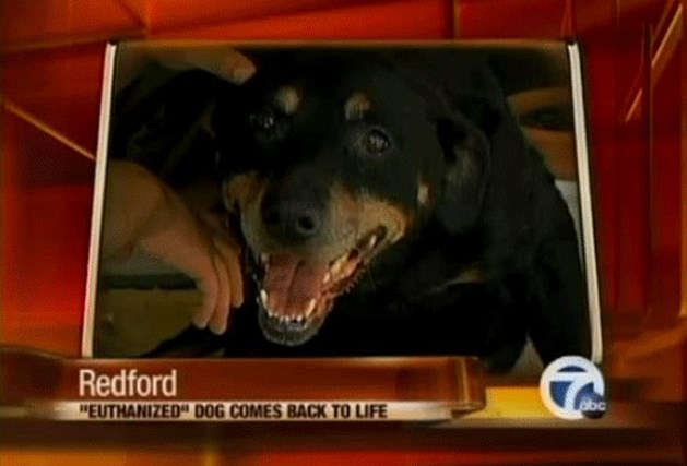Oude Rottweiler overleeft euthanasie (video)
