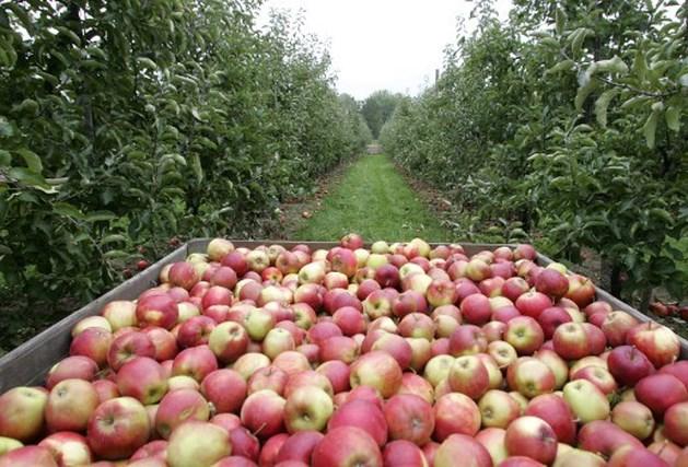 Tientallen Roemeense fruitplukkers uitgebuit in Sint-Truiden