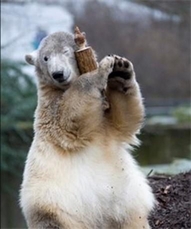 't Gaat niet goed met Knut de ijsbeer