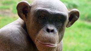 Ook chimpansees lachen om geliefd te zijn