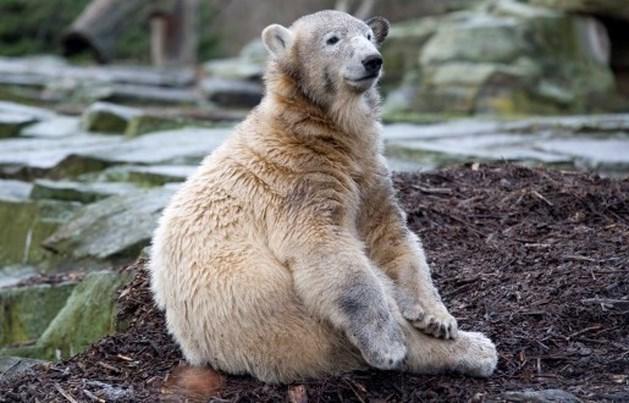 Meer onderzoek naar doodsoorzaak Knut