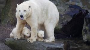 Moderne ijsberen hebben Ierse roots
