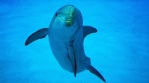Dolfijnen in Mekong-rivier met uitsterven bedreigd
