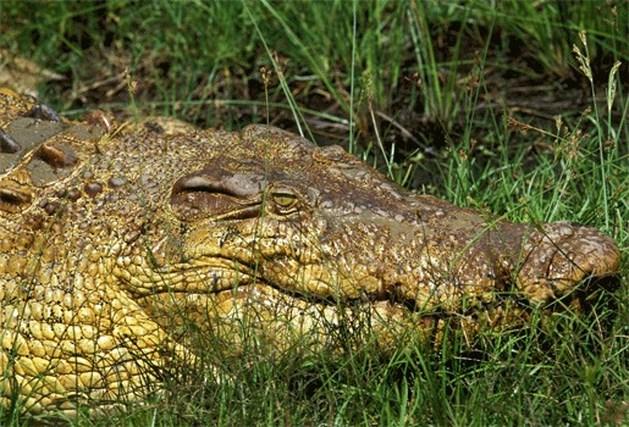 Vietnamese boeren nemen krokodillen in huis