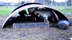 Zware verwaarlozing van geiten in Bertem (video)