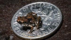 Zingende kikker van 7 mm is kleinste gewervelde dier ter wereld