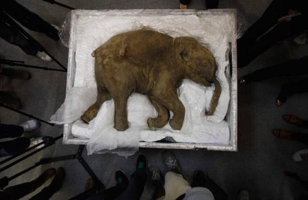 Baby-mammoet teruggevonden na 40.000 jaar